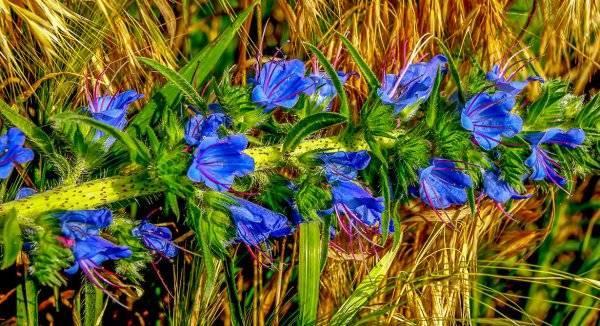 Медонос синяк и его выращивание - общая информация - 2020