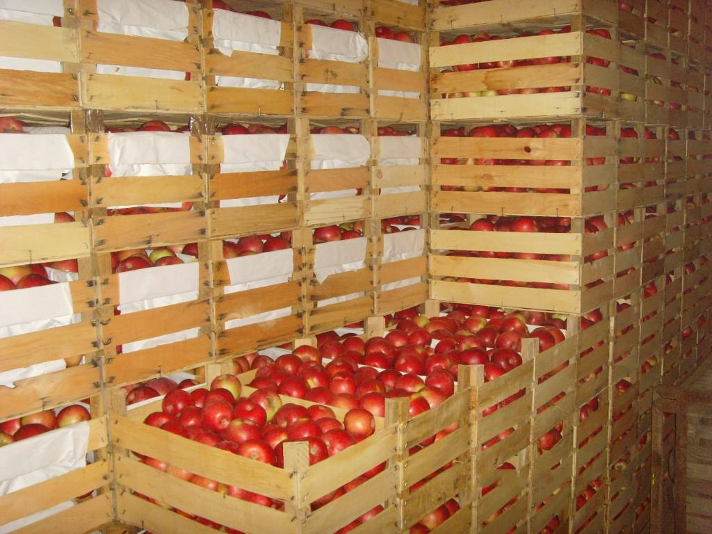 Как надолго сохранить яблоки в погребе свежими?