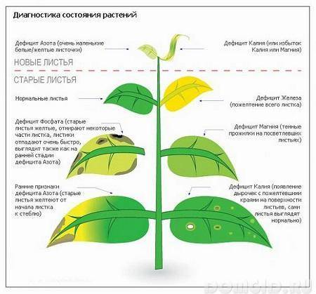 Почему чернеют листья на груше: меры борьбы и профилактики