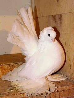 Статные (группа голубей)