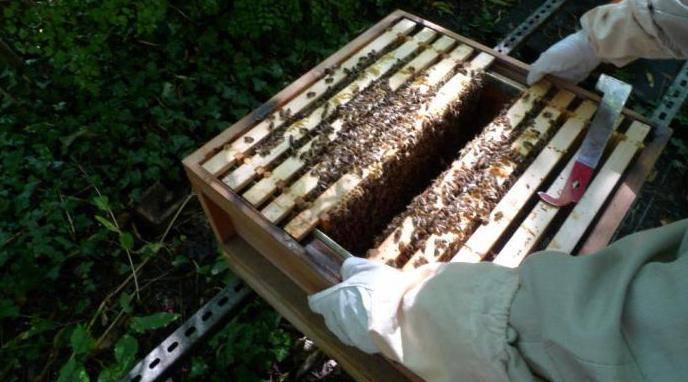 Сроки и способы осенней подкормки пчёл сиропом из сахара
