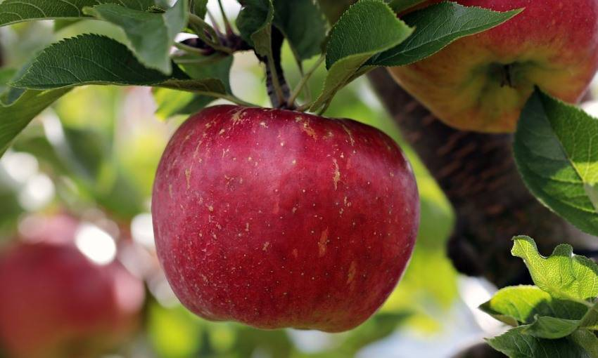 Сорт яблони эрли женева – описание, фото
