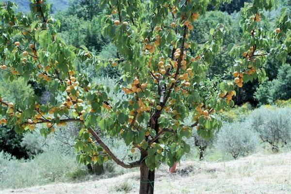 Сорт абрикоса алёша — декоративный и неприхотливый