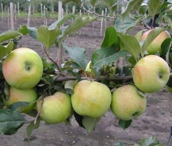 Яблоня «чудное»: описание сорта, фото и отзывы