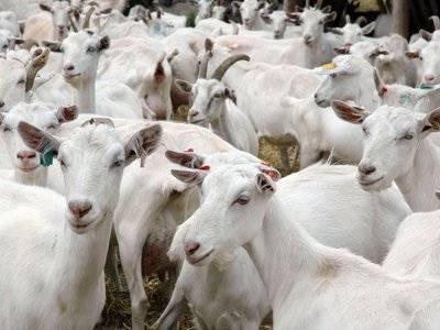 Как выбрать молочную козу
