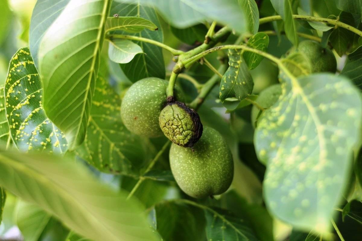 Листья грецкого ореха: как сушить и в каких целях употреблять
