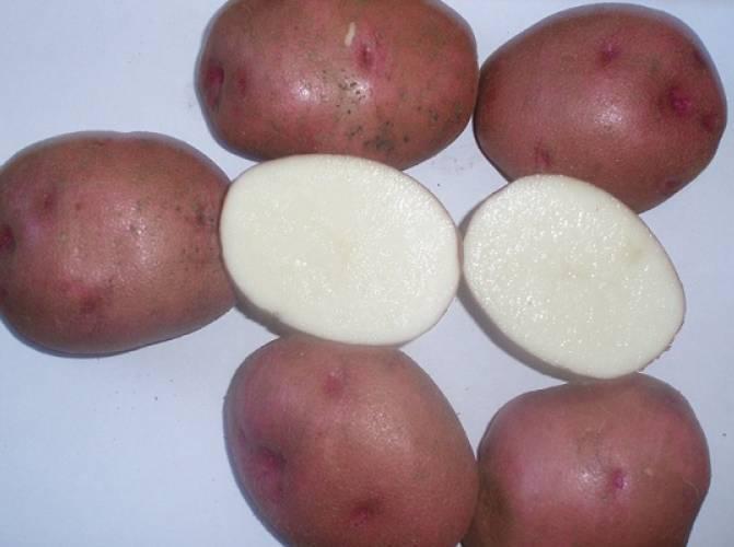 Описание сорта картофеля любава