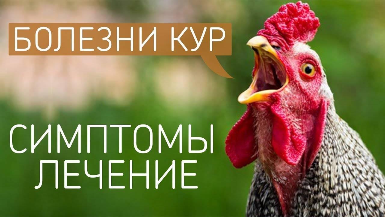 Болезни кур: подробный перечень куриных болезней - общая информация - 2020