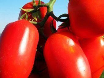 Томат диаболик f1: подробная характеристика и описание высокорослого и урожайного сорта