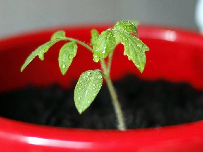 Подготовка семян томатов к посеву на рассаду в домашних условиях: какая обработка лучшая для зёрен помидоров и как правильно собрать материал?