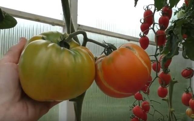 Томат медовый салют: описание и характеристика сорта, выращивание и уход