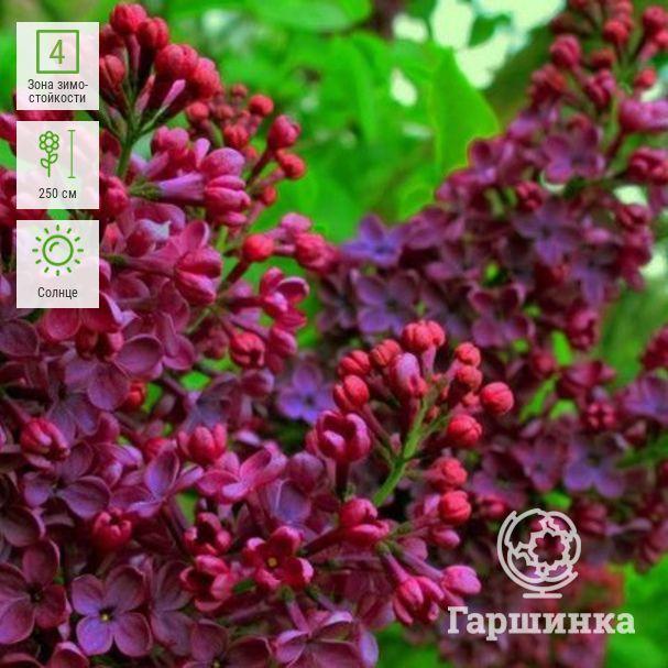Сирень выращивание и уход - декоративные цветы и кустарники - смолдача - портал дачников, садоводов и любителей загородной жизни