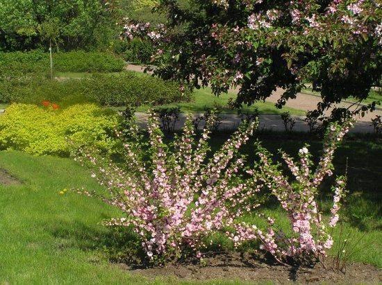 Как посадить миндаль на даче и ухаживать за кустарником