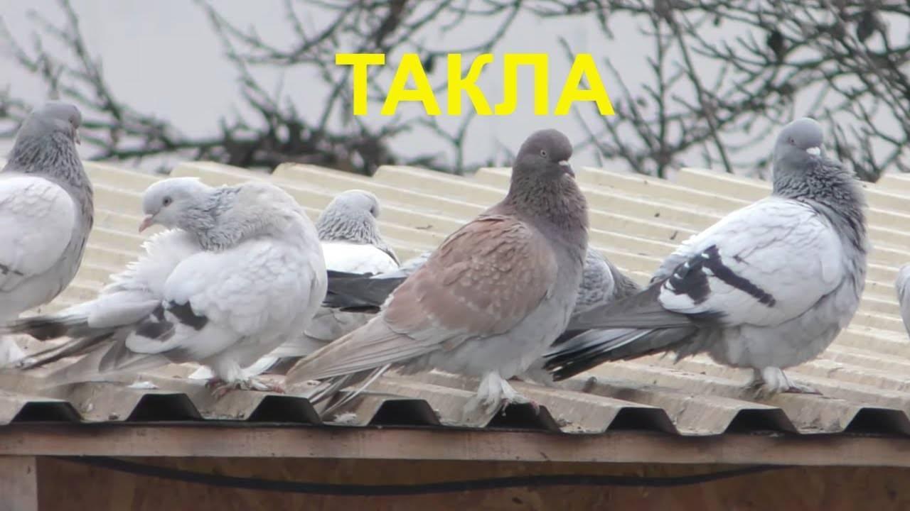 Все об интереснейших и красивейших созданиях - голубях касанах