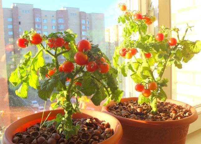 Балконное чудо – наиболее подходящий для выращивания дома сорт помидоров