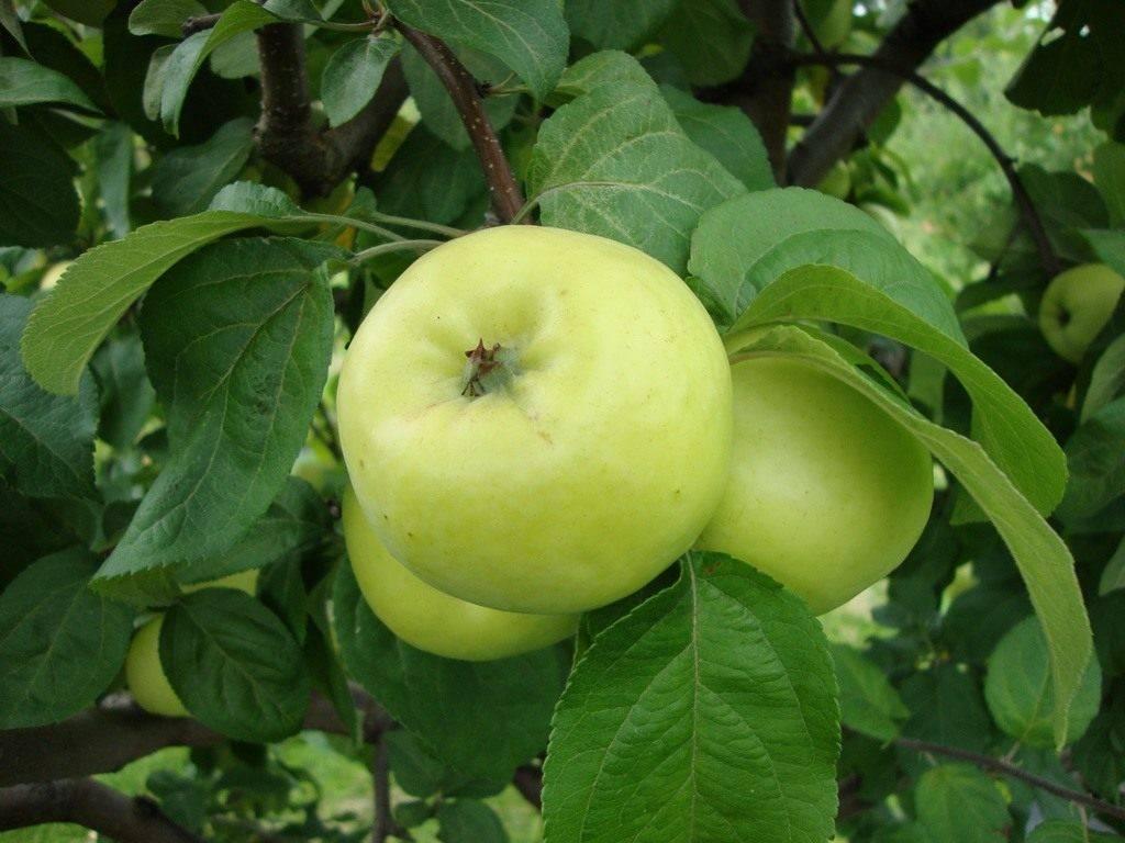 Какие яблони лучше посадить на даче в подмосковье