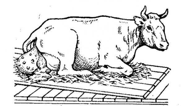 Выпадение влагалища у коровы
