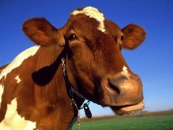 Отравление у коровы: симптомы и лечение