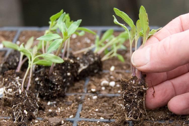 Особенности подкормки рассады баклажанов в домашних условиях и открытом грунте, чем подкормить для роста, как удобрять до и после пикировки