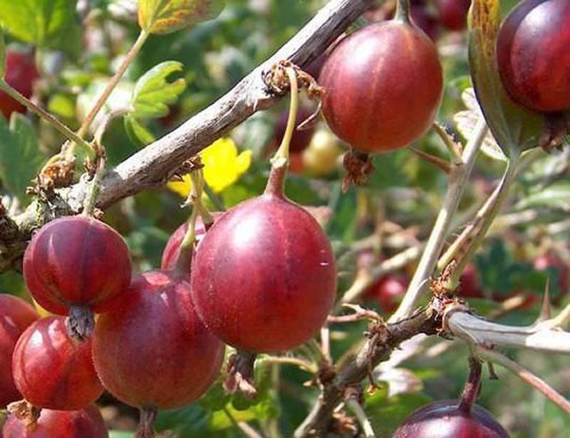 Крыжовник командор (владил): характеристика, особенности выращивания и размножения