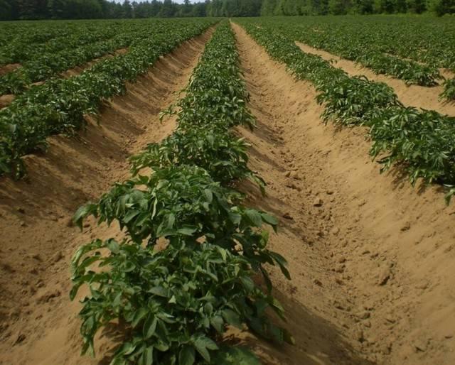 Картофель санте: описание сорта, фото, характеристика, вкусовые качества