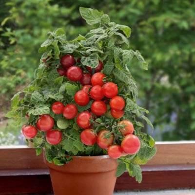 Описание сорта томата пиноккио, его характеристика и урожайность