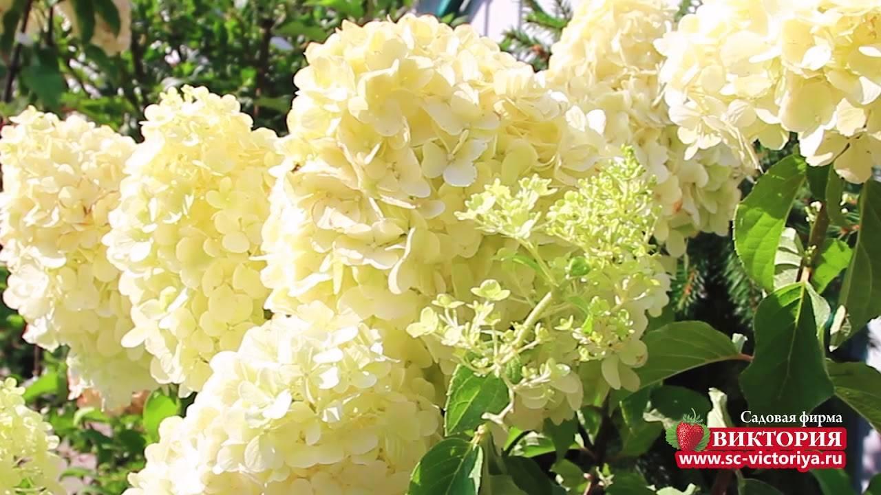 Нежный и изысканный сад — высаживаем гортензию «мэджикал кэндл»