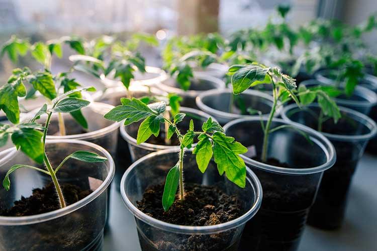 Когда и как высаживать рассаду помидоров в открытый грунт