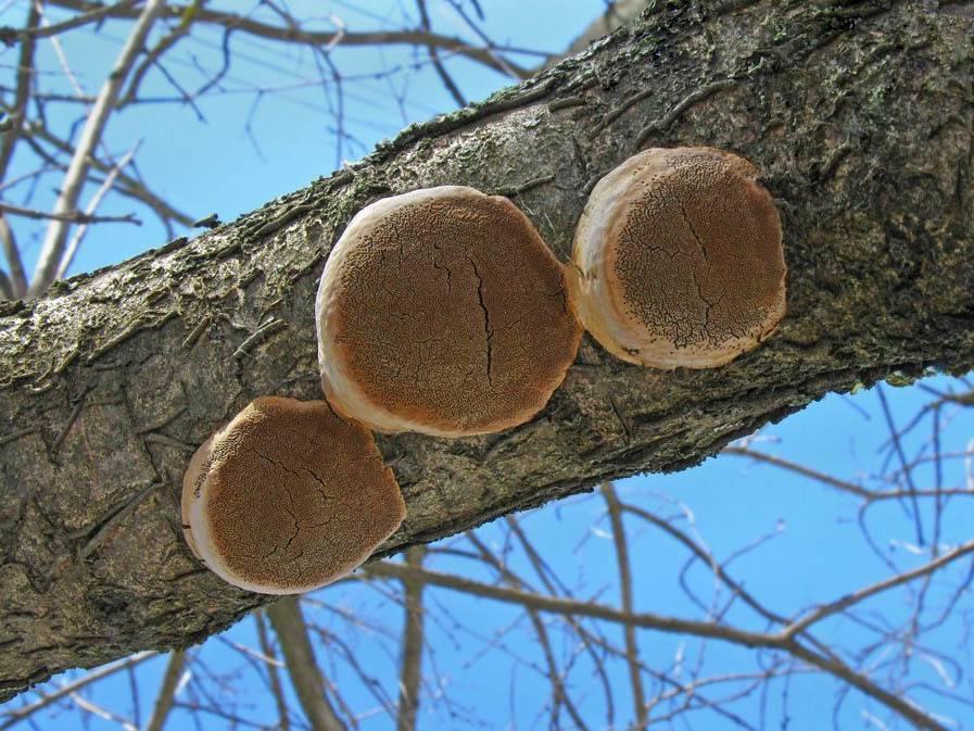 Почему трескается кора на деревьях и что делать