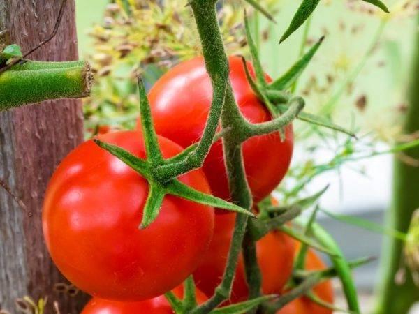 Мясистые помидоры — ранние сорта для открытого грунта