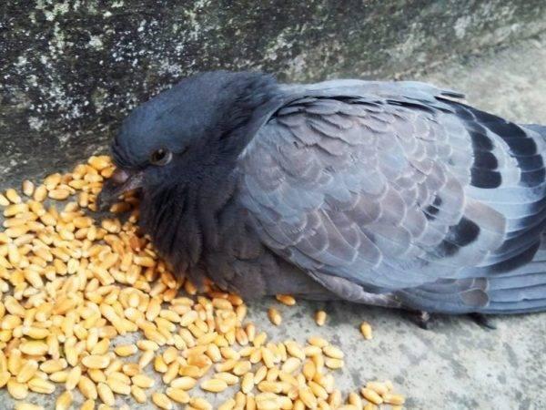 Что едят голуби и как правильно их кормить