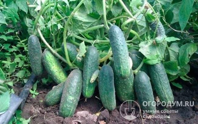 Огурец эколь f1: отзывы, технология выращивания, описание (фото) - общая информация - 2020