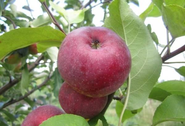 Выращивание яблони сорта антоновка