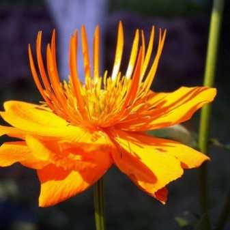Купальница европейская (цветы жарки): виды, описание растения, особенности строения, сроки цветения