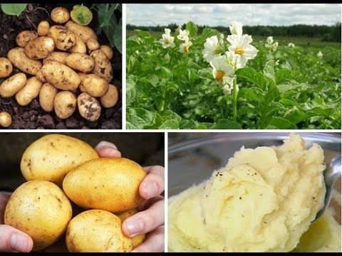 Сорт адретта: рекомендации по выращиванию и уходу за картофельной королевой