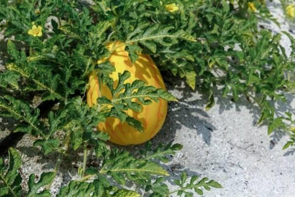 Как выращивать дыни в теплице: вырастить, выращивание и формирование, поликарбонат на урале, формирование и посадка