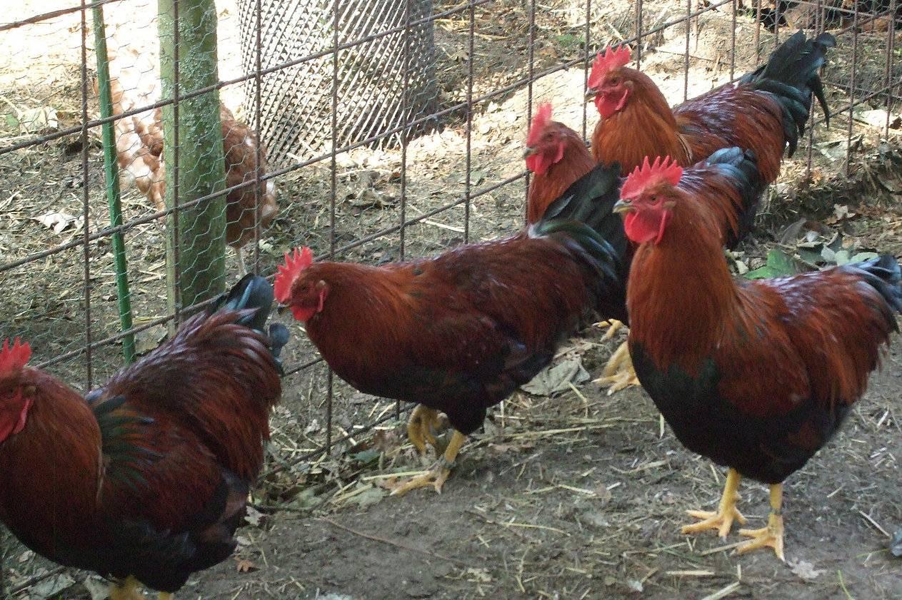 Вельзумер порода кур – описание, фото и видео - общая информация - 2020