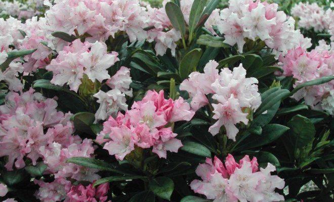 Подкормка рододендронов весной и осенью