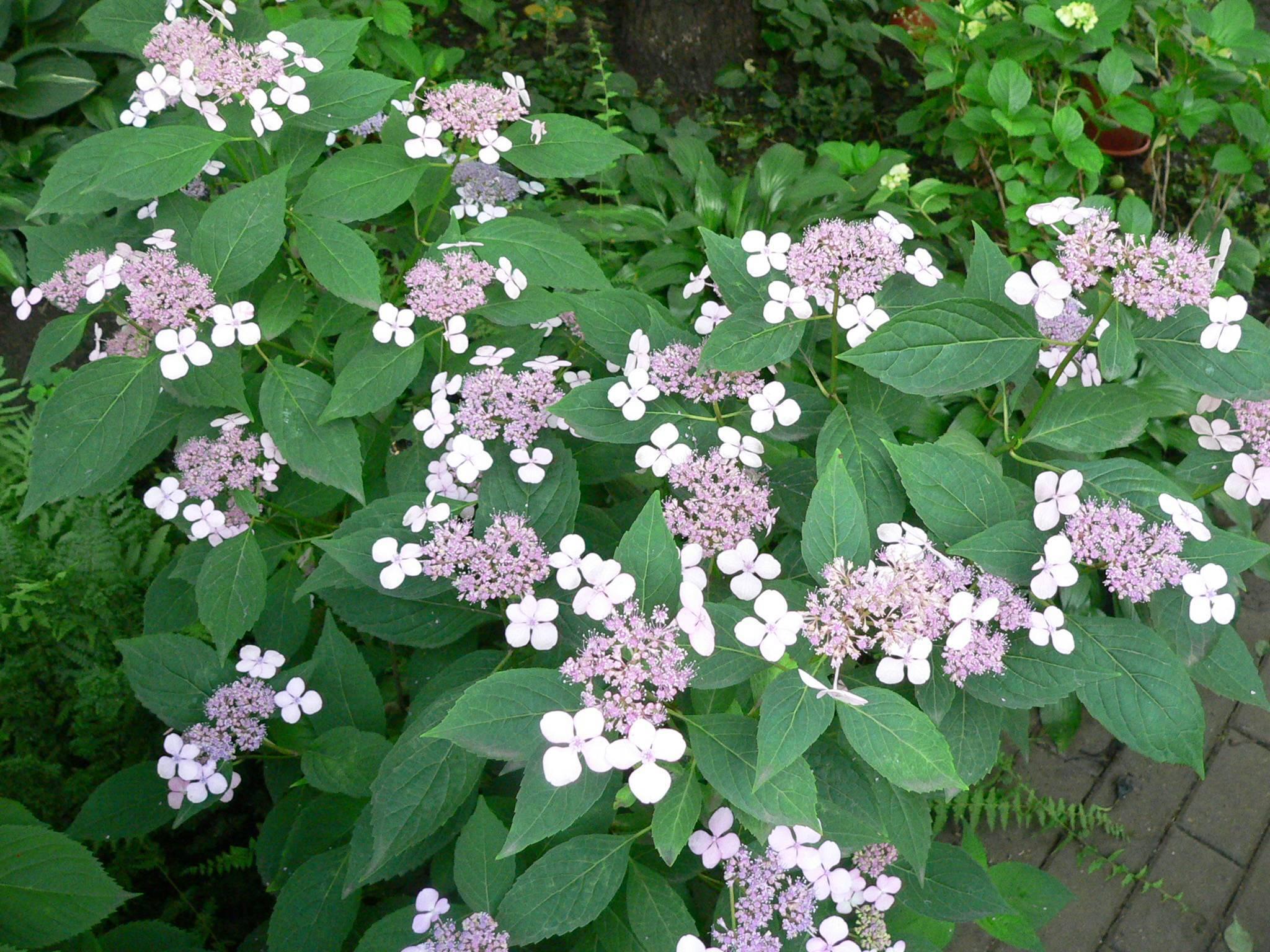 Все о гортензии пильчатой: сорта, посадка и уход, зимостойкость растения