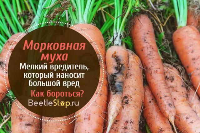 Как уберечь морковь от морковной мухи: борьба с вредителем