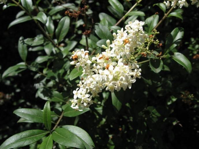 Бирючина: посадка и уход, виды и сорта