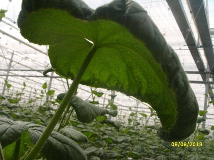 Почему у огурцов закручиваются листья во внутрь