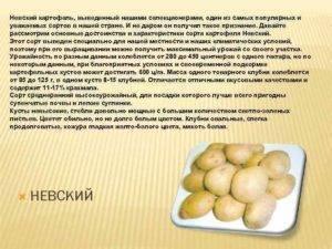 Сорт картофеля «невский»: характеристика, урожайность, отзывы и фото