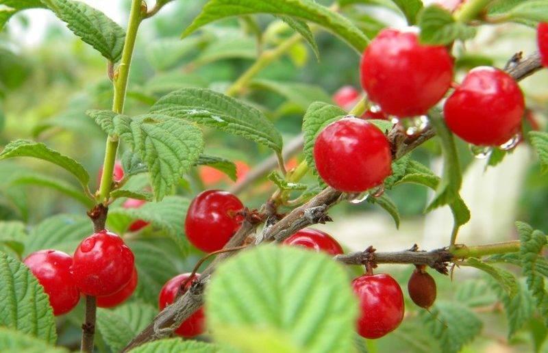 Войлочная вишня - изучаем особенности сортов