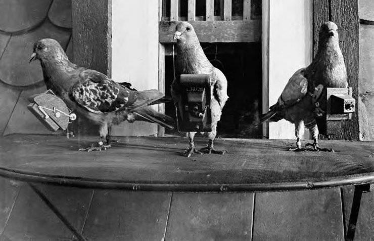 Почтовые голуби: породы, уход, дрессировка. как почтовые голуби находят адресата