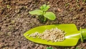 Как подготовить семена огурцов для выращивания рассады?