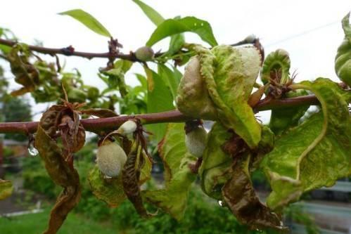 Тля на персике: меры борьбы
