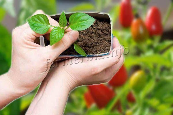 Когда сеять перец на рассаду для теплицы