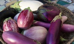 Баклажан «марципан»: особенности выращивания и уход