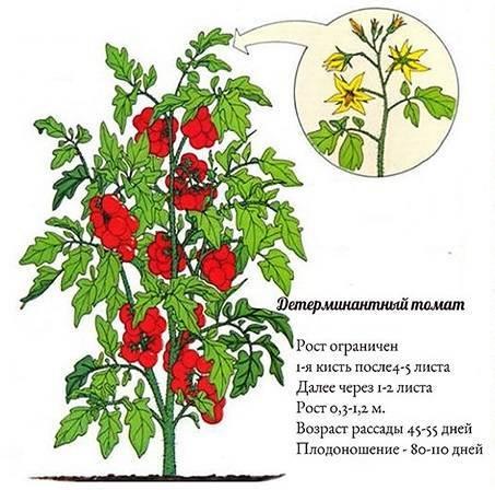 Сорта томатов: что такое детерминантный, полудетерминатный и супердетерминантный вид, их отличия и особенности, а также их преимущества и недостатки